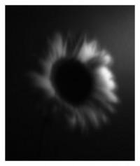 Sonnenblume - 22.08.2014