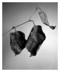 dry leaves - 24.01.2015