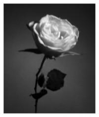 Rose - 25.03.2015